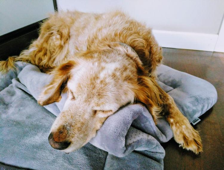 【老犬の寝たきり】犬種別の注意点、寝たきりにならないようにするには?