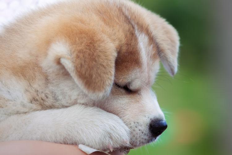 秋田犬 子犬 寝る