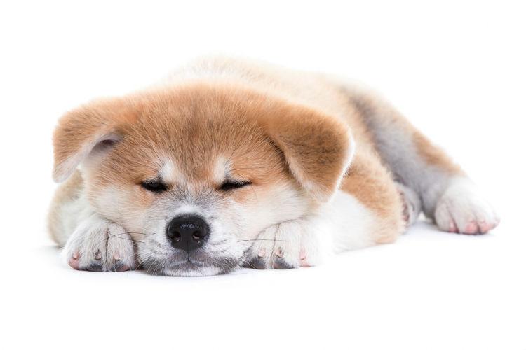 【秋田犬】トイレで寝たり、遊んだりしないようにするには?