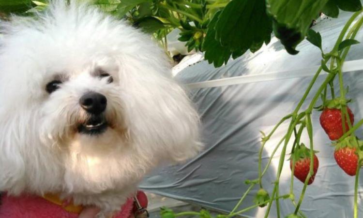 【愛犬同伴OK】人気のいちご狩りスポット【山梨】中島農園