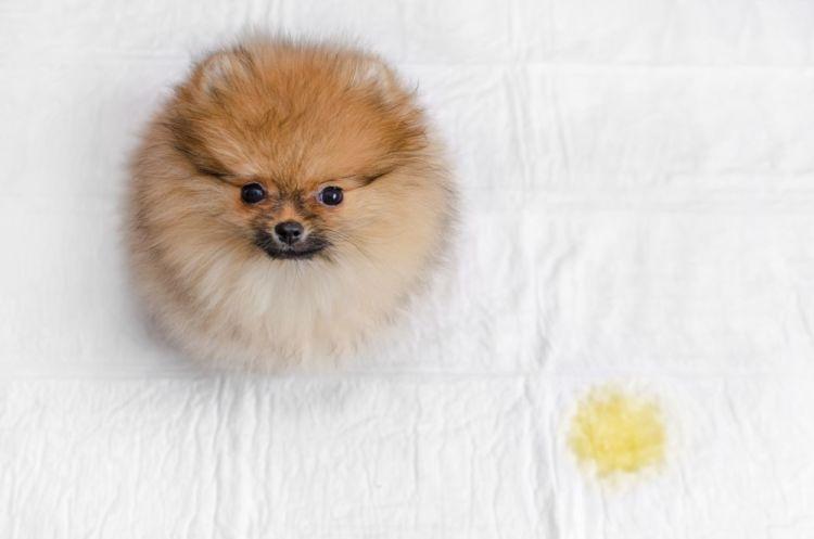 【犬種別】犬のトイレ(排泄)「しつけ」トレーニングのポイントや失敗しないコツ!
