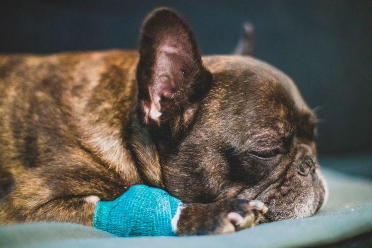 老犬の寝たきり「原因や理由」②【怪我・病気】