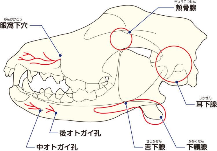 犬の大唾液腺の分布