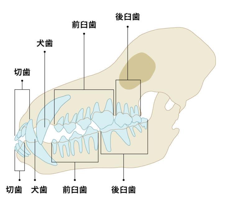 注意点①【もっとも折れやすいのは上顎の一番大きな歯(第4前臼歯)】