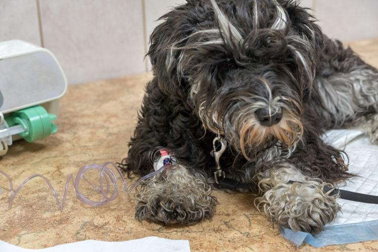 犬のニラの誤飲「治療法」④【輸血】