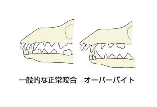 犬の不正咬合症状④【上顎前突/上顎前出/オーバーバイト/オーバーショット】