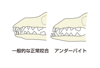犬の不正咬合症状⑤【下顎前突/下顎前出/逆鋏状咬合/アンダーバイト/アンダーショット】