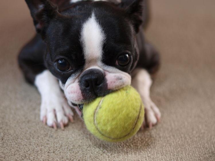 犬の歯髄炎「予防対策」②【歯の咬耗に気をつける】