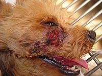 犬の外歯瘻(がいしろう)【症状】