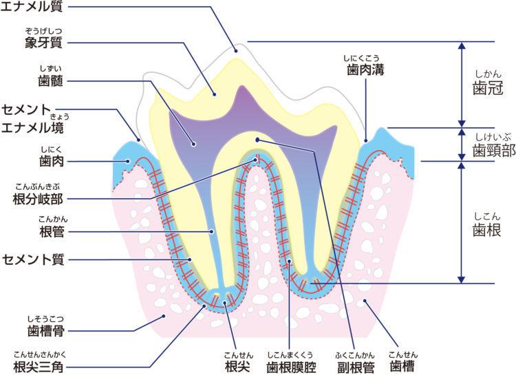 犬の内歯瘻(ないしろう)【原因は?】