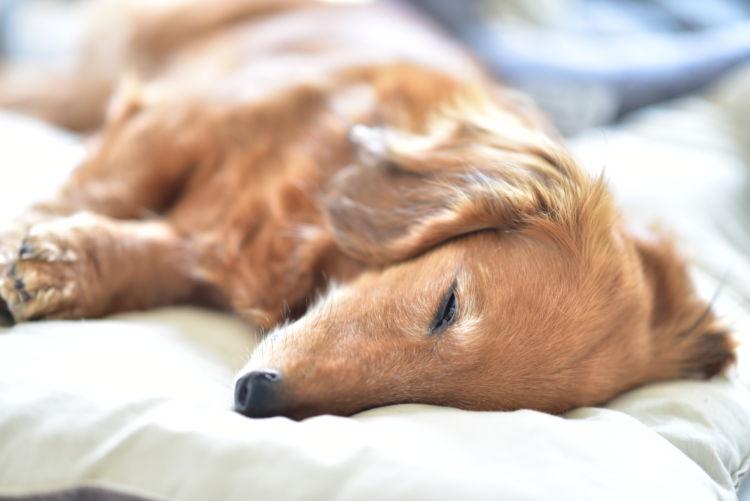 【内分泌科担当獣医師監修】犬の「高カルシウム血症」原因や症状、なりやすい犬種、治療方法は?