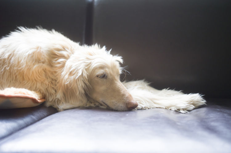【内分泌科担当獣医師監修】犬の「甲状腺機能低下症」原因や症状、なりやすい犬種、治療法予防対策は?