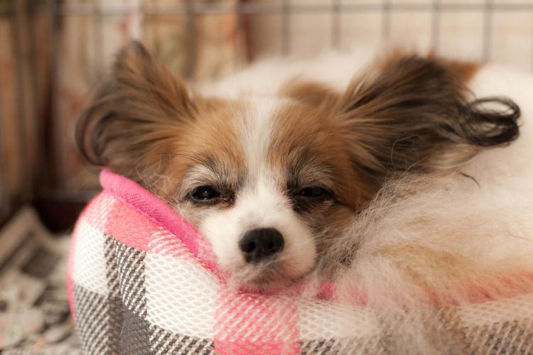 犬の副腎皮質機能低下症(アジソン病)【まとめ】