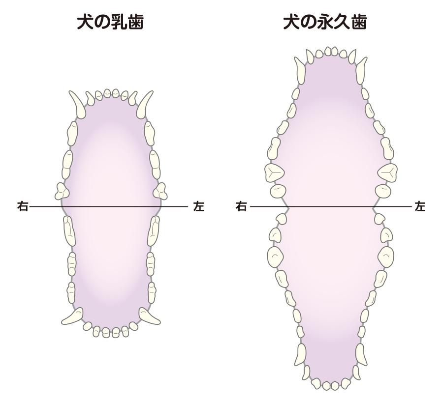 犬 乳歯 永久歯