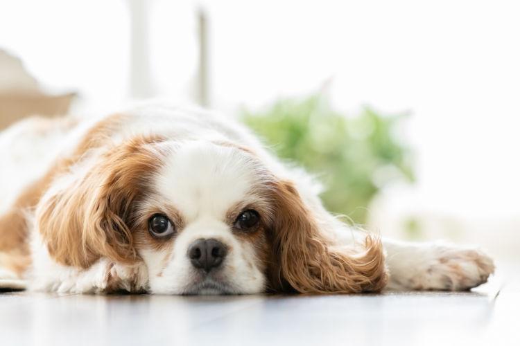 犬の脊髄空洞症【発症しやすい犬種】