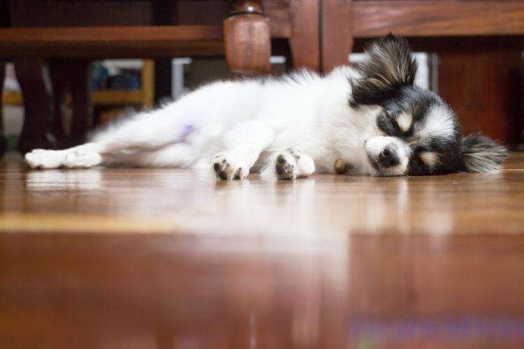 【獣医師監修】「犬の脊髄空洞症」原因や症状、検査・診断、治療、予防方法、なりやすい犬種は?