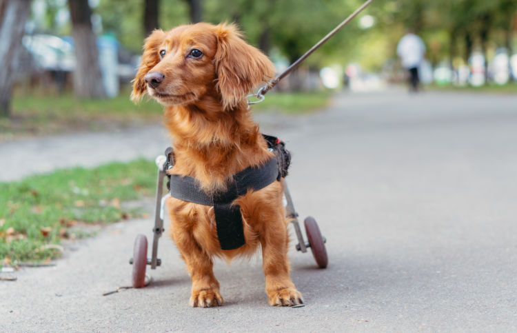 【獣医師監修】犬の「椎間板ヘルニア」原因や症状、検査・診断、治療、予防方法、なりやすい犬種は?