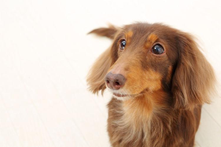 犬の椎間板ヘルニア【発症しやすい犬種】