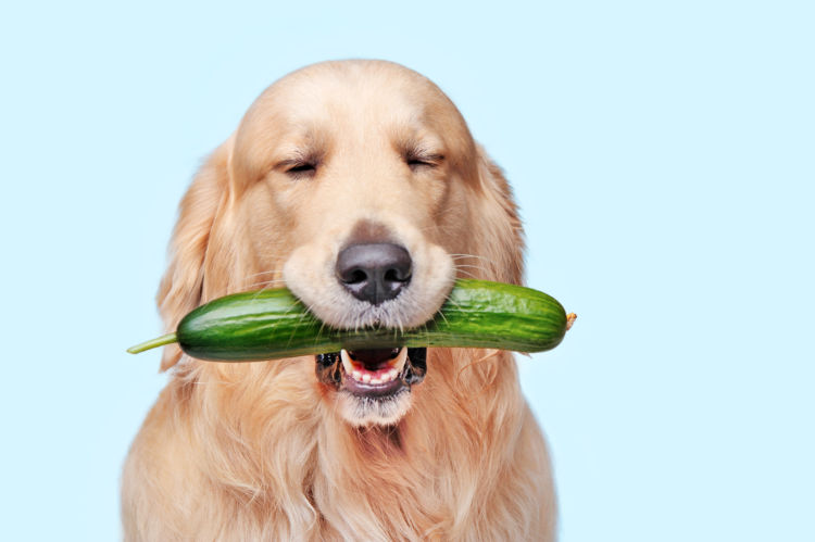 【獣医師監修】犬がきゅうり(生)を食べても大丈夫?皮はダメ?尿路結石などの注意点や適量は?