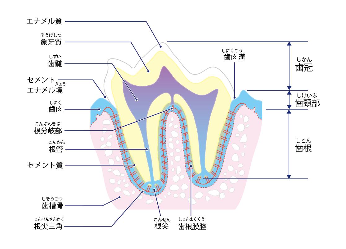 犬の歯の構造