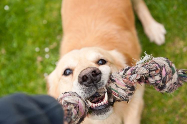 犬の根尖周囲病巣(こんせんしゅういびょうそう)【なりやすい犬種】