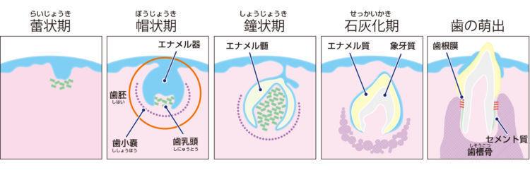 歯が成長する過程
