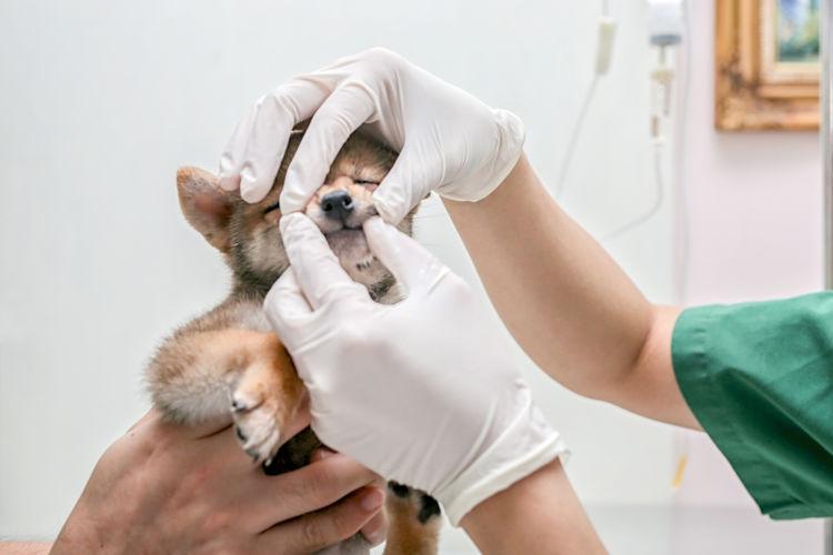 柴犬の歯のトラブルに保険は使用できる?