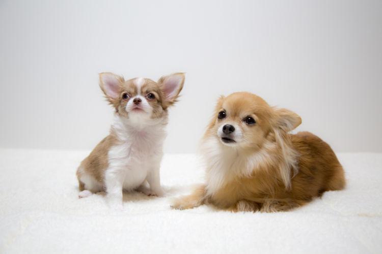 【子犬・老犬】が小豆を食べても大丈夫?