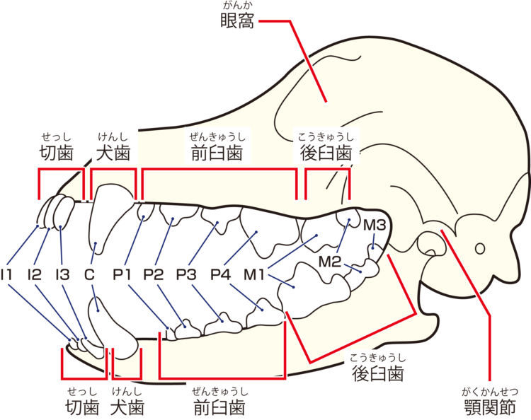 【成犬の歯】
