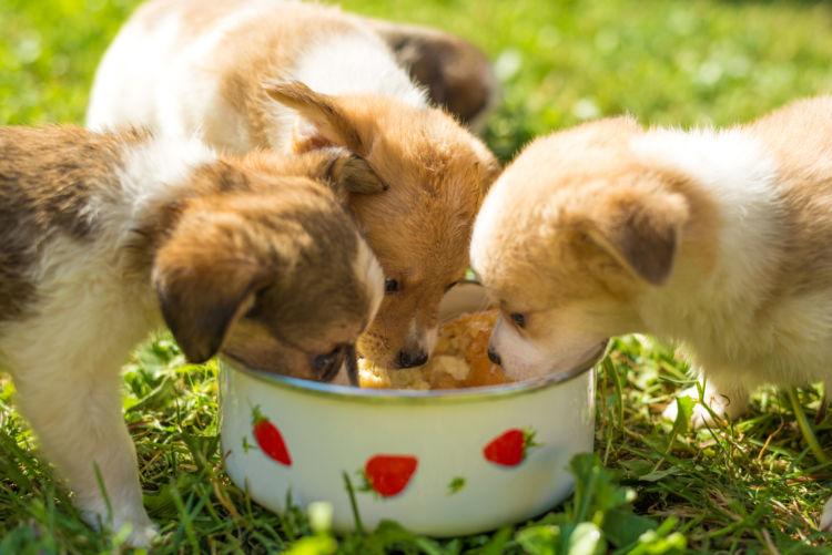愛犬 子犬 食事