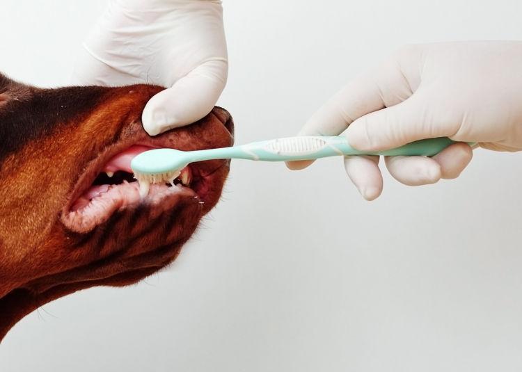 ドーベルマンの歯磨き【歯磨きの仕方】