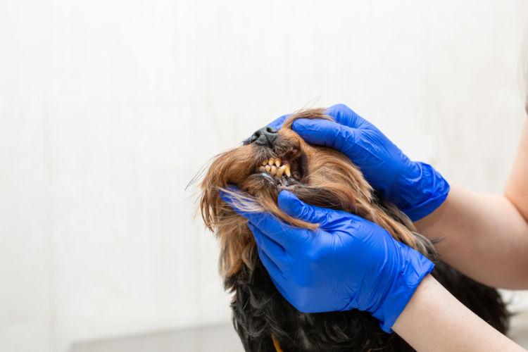 ヨークシャー・テリアの歯のトラブル④【内歯瘻(ないしろう)/外歯瘻(がいしろう)/口腔鼻腔瘻(こうくうびくうろう)】