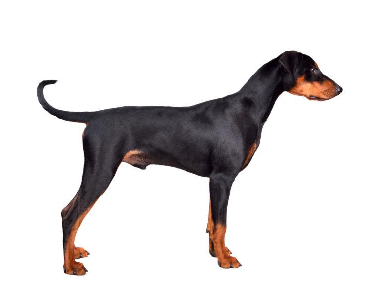 【ドーベルマンの耳と尾についてのスタンダード(犬種標準)比較】
