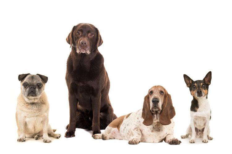 食べ物(食物・フード)アレルギーを発症しやすい犬種は?