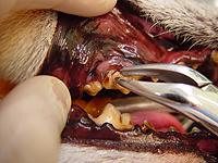 ②歯石がたくさんついている場合は、抜歯鉗子で大まかに歯石を取り除きます。