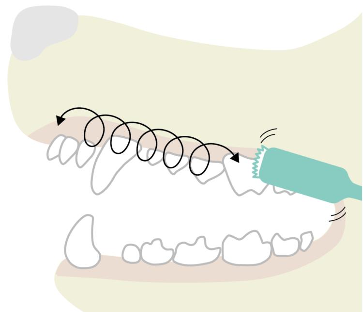 歯ブラシで小さな円を描くように磨くと歯の表面の汚れを落としていきます
