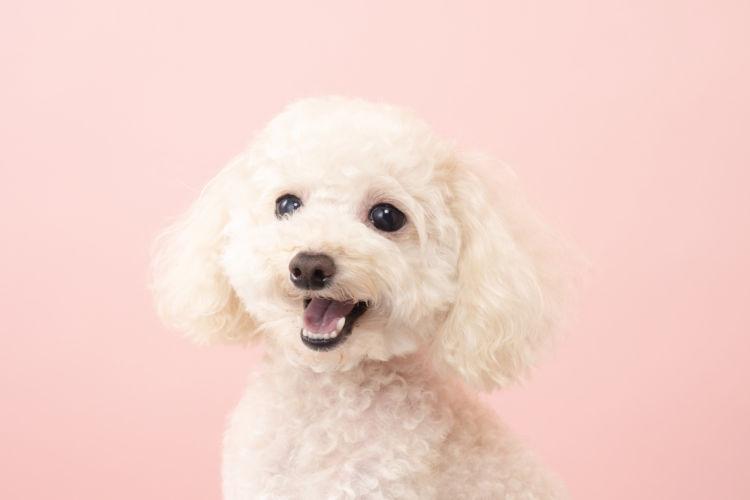 犬の歯石【なりやすい犬種】