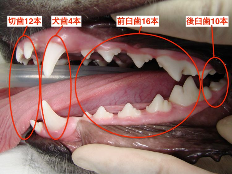 「永久歯42本」=切歯12本+犬歯4本+前臼歯16本+後臼歯10本(ラブラドール・レトリーバー、1歳)/©フジタ動物病院