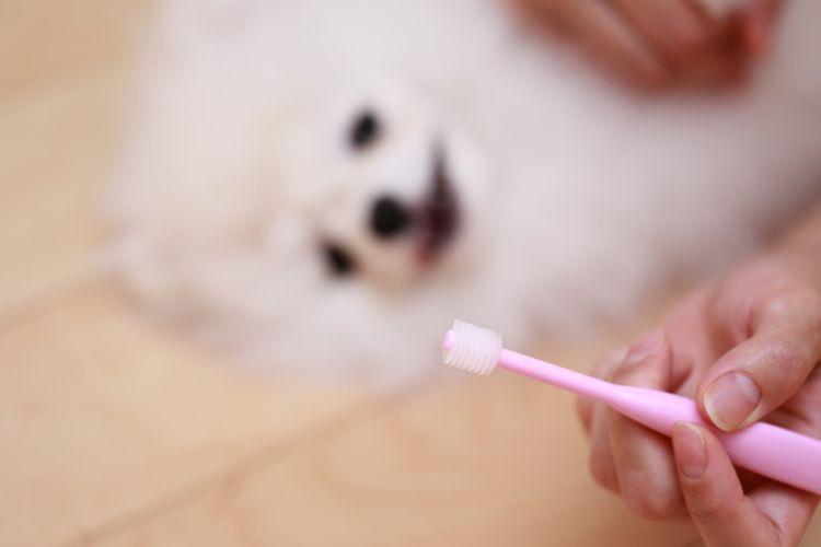 子犬の歯の生え変わり【生え変わり時期の歯磨きの仕方や注意点、ポイントは?ガムを与えても良い?】