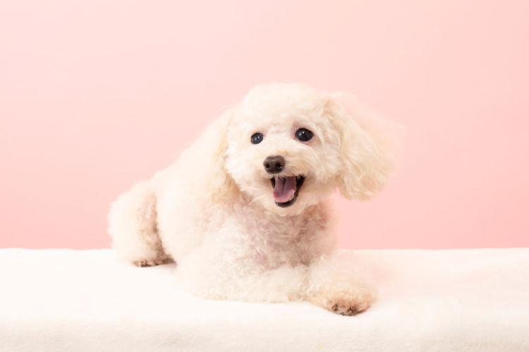 【獣医師監修】犬に歯磨き粉は必要?いらない?人間用の歯磨き粉や安全性、歯石、歯垢の効果、注意点は?