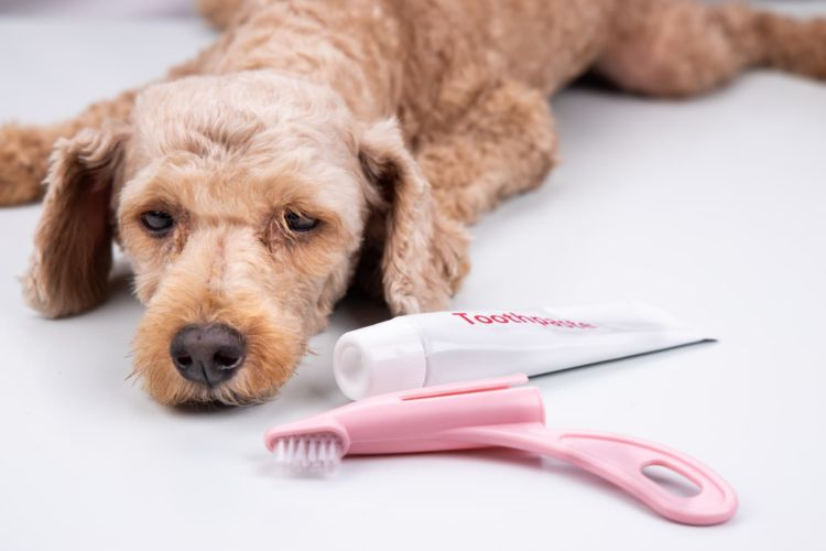 犬の歯磨き粉【歯磨き粉を舐めたり食べても大丈夫?注意点(キシリトール)・ポイント!】