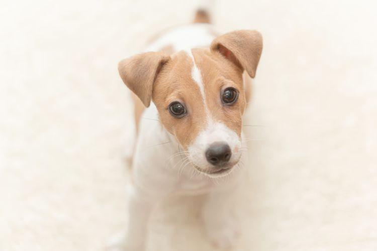 【獣医師監修】犬に歯磨きガムは必要?食べたり飲み込んでも大丈夫?口臭予防や効果、安全な与え方は?