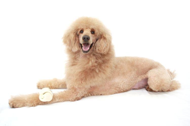 犬の歯磨きガム【必要?歯磨きガムを食べたり、飲み込んでも大丈夫?】