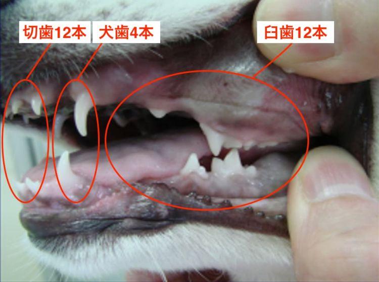 「乳歯28本」=切歯12本+犬歯4本+乳臼歯12本(シベリアン・ハスキー、2ヶ月)/©フジタ動物病院