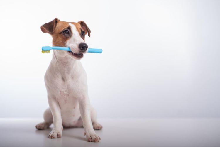 【獣医師監修】犬専用の歯ブラシは必要?人間用の代用は?選び方や使用方法、噛んだり嫌がる場合の対処法!