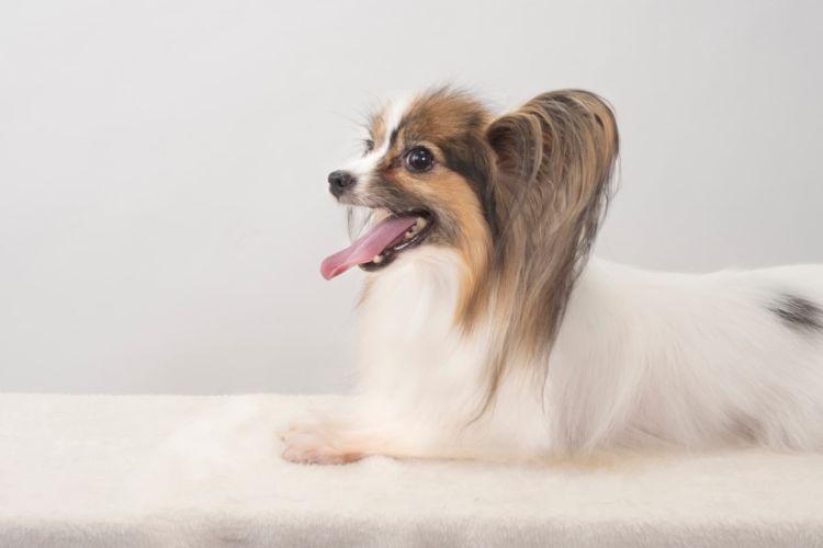 犬の歯並び【成犬(永久歯)の歯並びが悪い原因や理由は?】