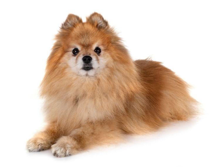 チワワの老犬のシャンプー