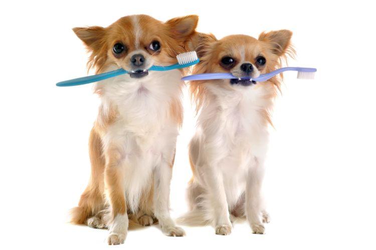 チワワの歯磨き【チワワ専用(小型犬)の歯ブラシや歯磨き粉が必要?おすすめグッズは?】