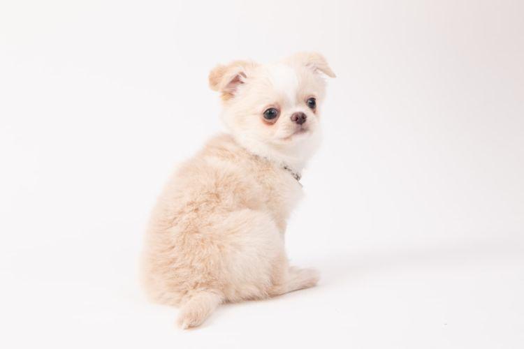 チワワの子犬(赤ちゃん)・老犬の歯磨き【注意点・ケア方法は?】