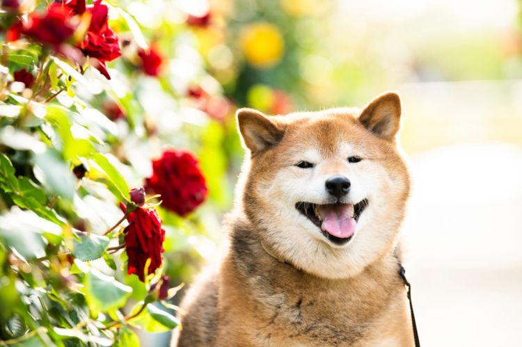 【獣医師監修】柴犬の歯磨きは不要?いつから必要?歯磨きガムや歯ブラシ、頻度、コツ、嫌がる場合は?